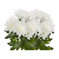 White Chrysanthemum 10pcs